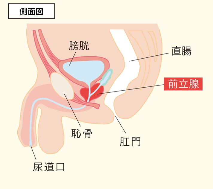 前立腺の側面図