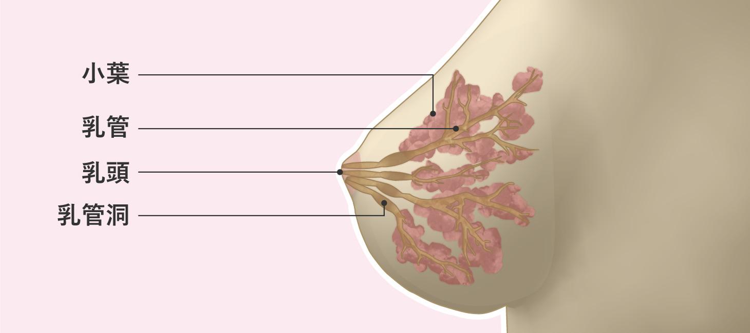 乳がんはどこにできるか、乳房内の図