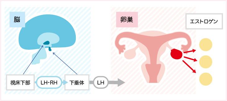 乳がん_エストロゲンは、2つのホルモンの連携で作られる