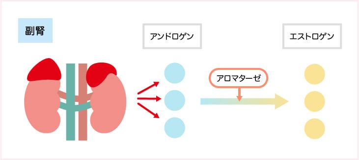 乳がん_ 閉経後は、男性ホルモンから女性ホルモンが作られる