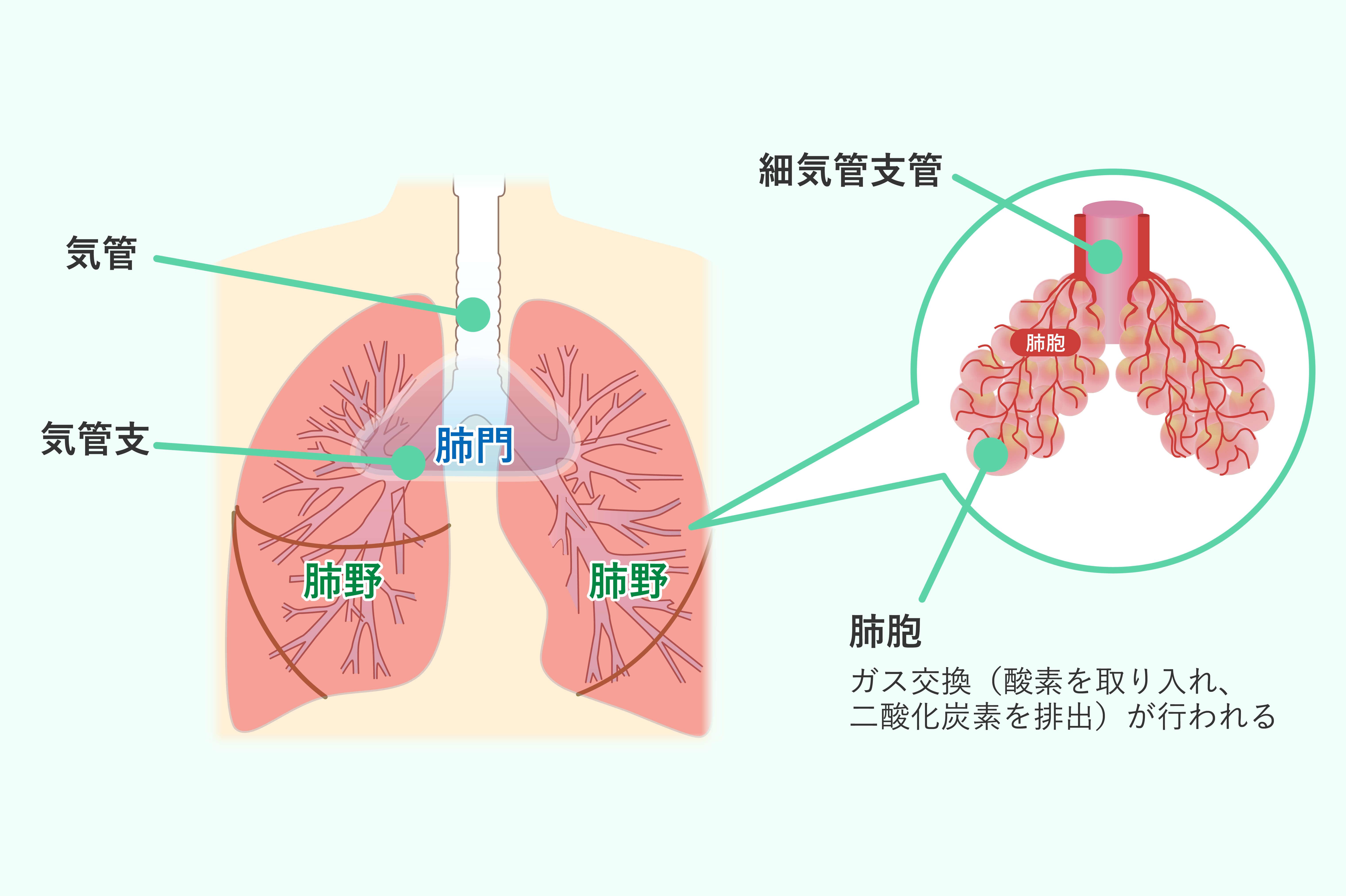 「気管支」と「肺胞」は肺が機能するために不可欠